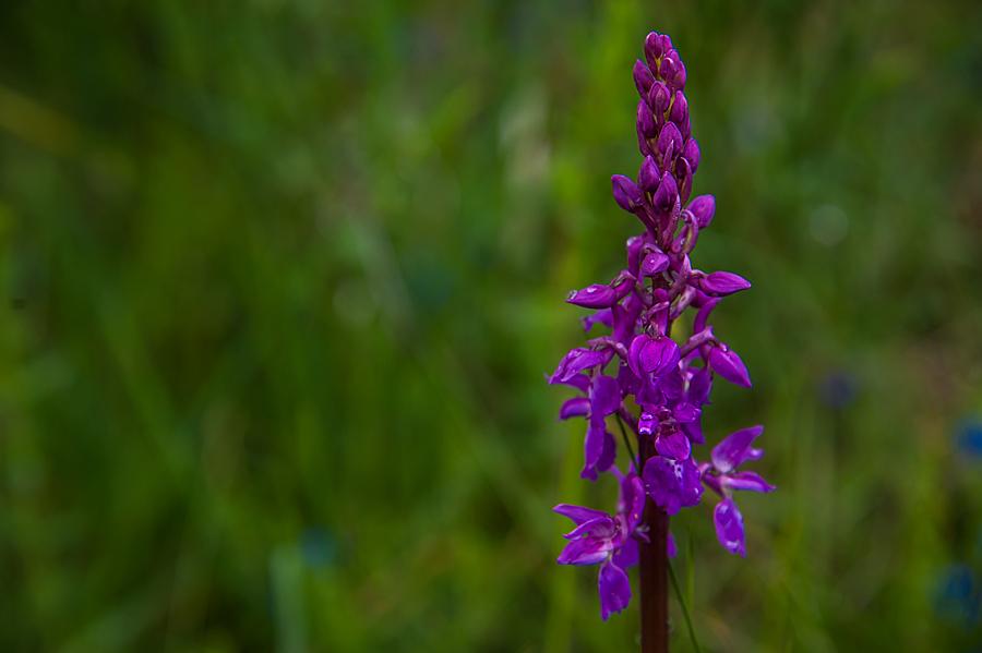 Fotos-de-orquideas-do-Courel-20